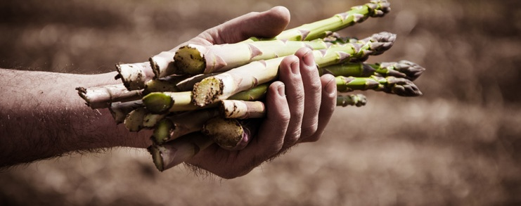 A hand holding a bundle of asparagus in a field.