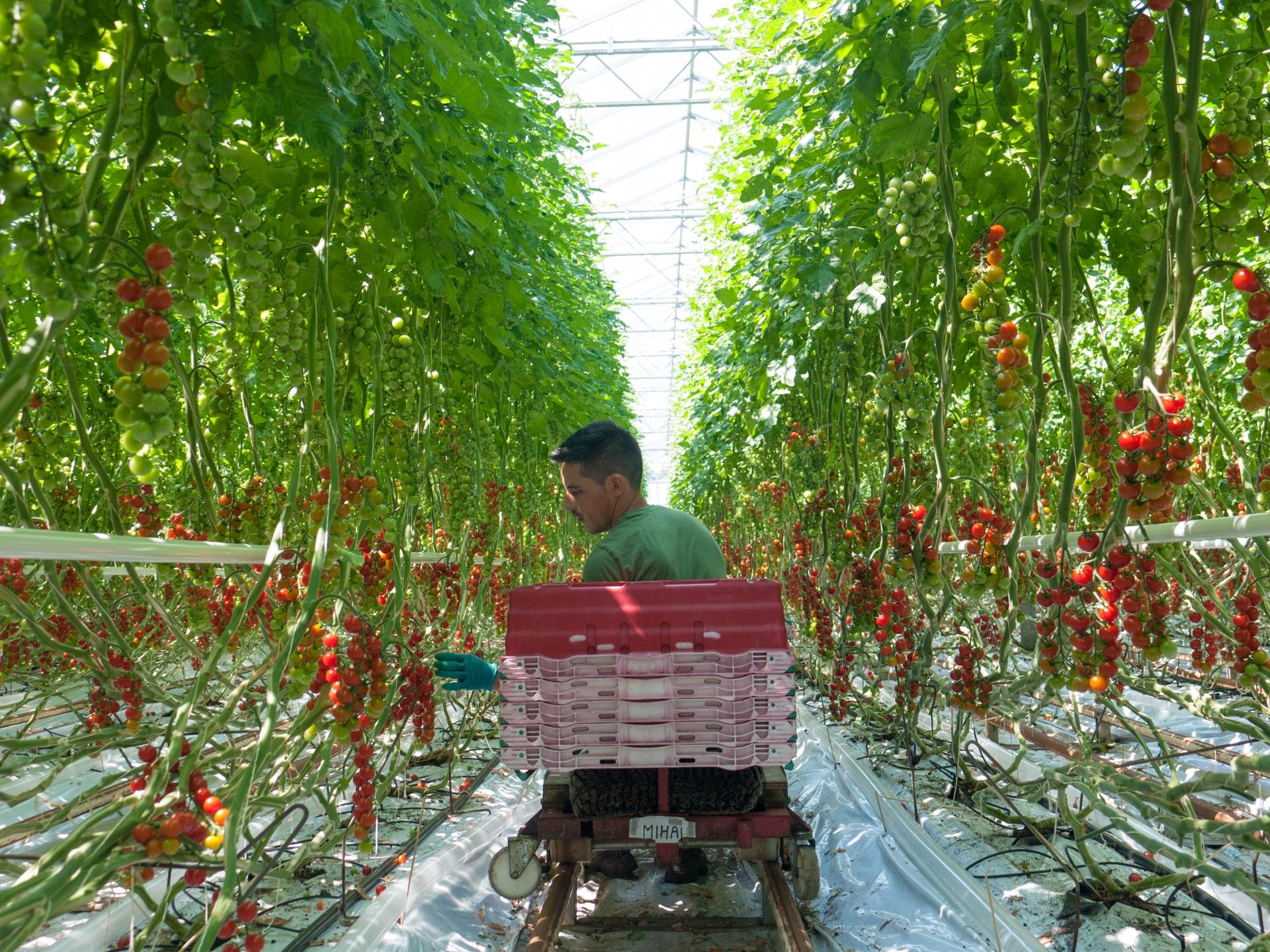 Tomato Stall Vines-15