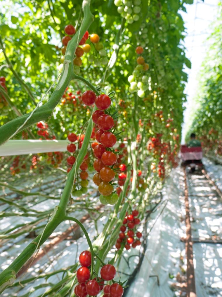 Tomato Stall Vines-17