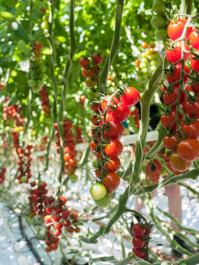 Tomato Stall Vines-20