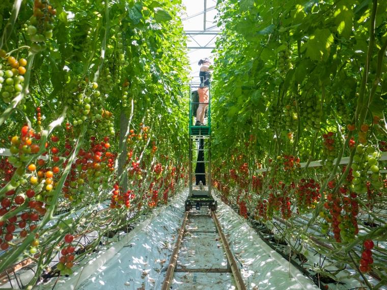 Tomato Stall Vines-23