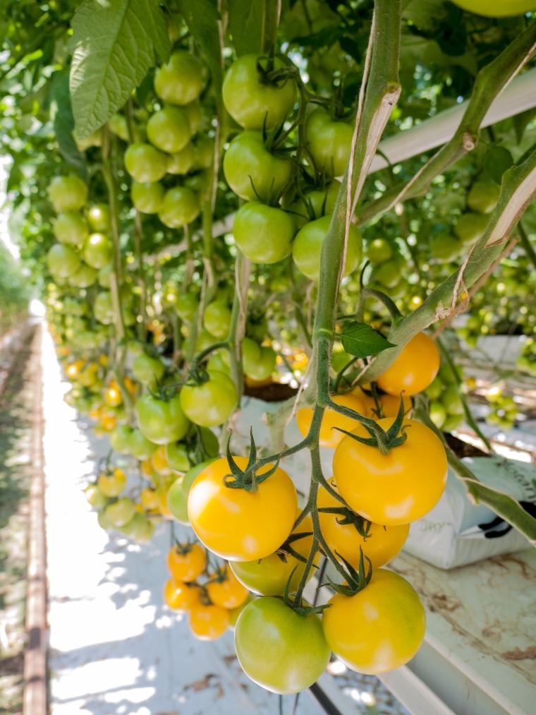 Tomato Stall Vines-25