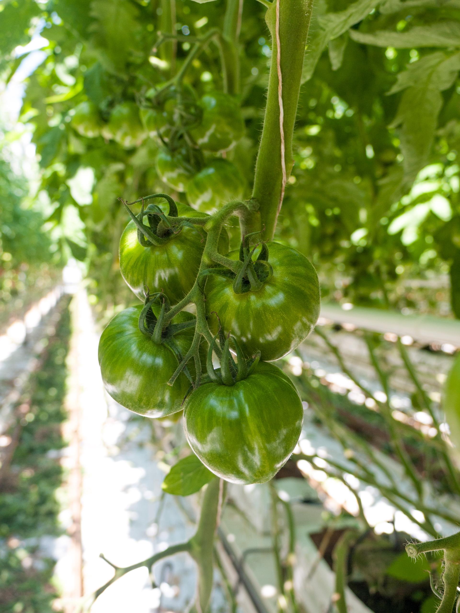 Tomato Stall Vines-27