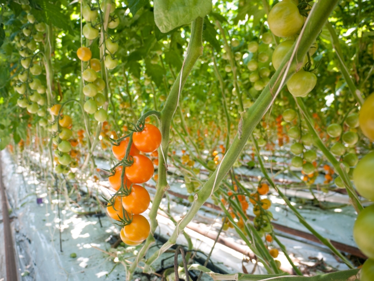 Tomato Stall Vines-32