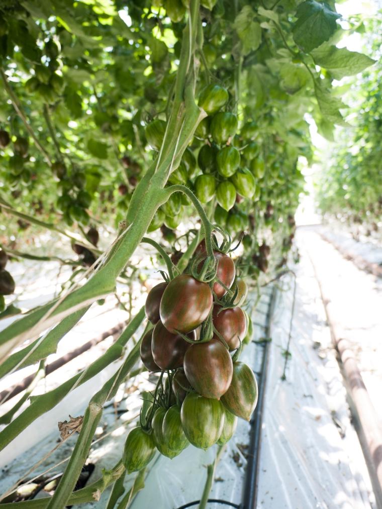 Tomato Stall Vines-35
