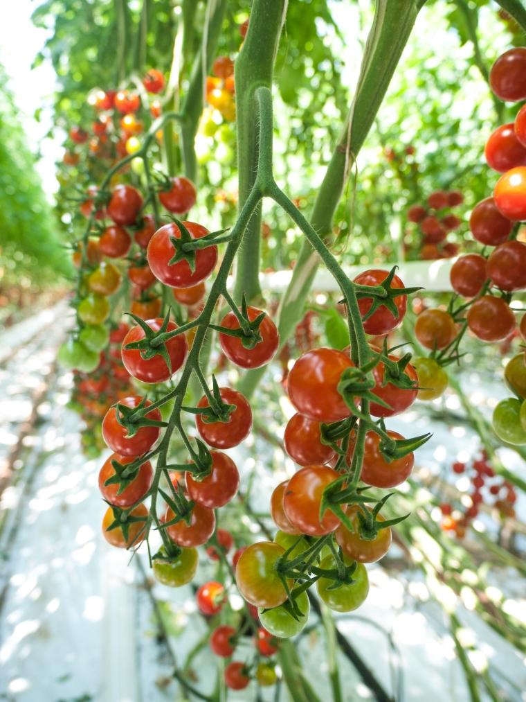 Tomato Stall Vines-8