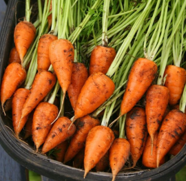 Chantenay carrots