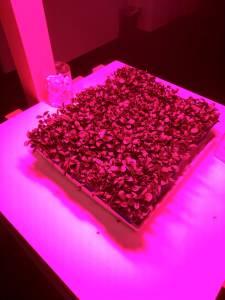 Micro leaf herbs being grown under pink light.
