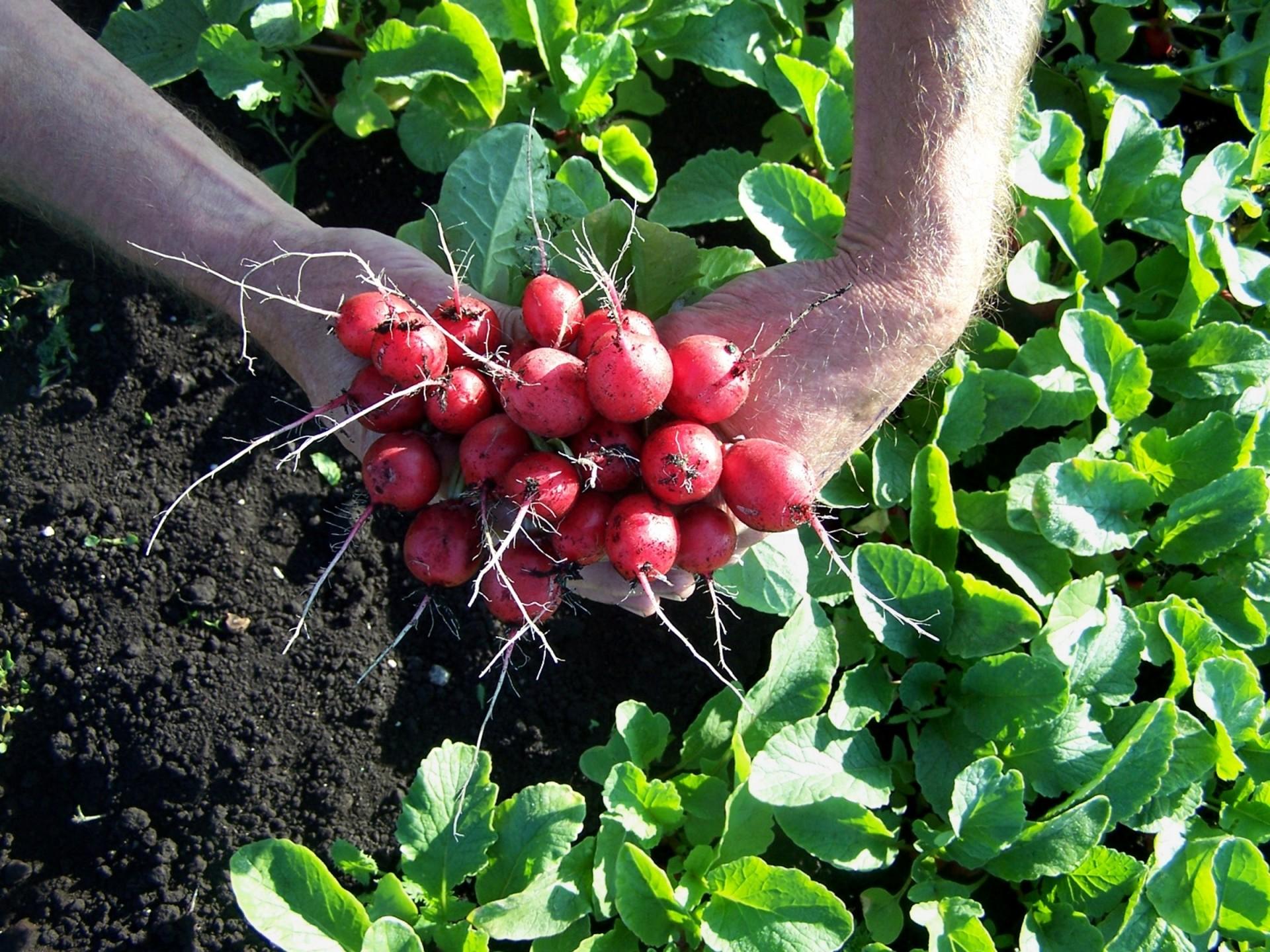 radish bunch in field 1